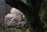 源太桜その2の幹