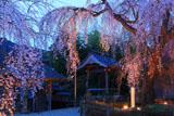 法蓮寺の枝垂桜