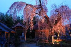 法蓮寺のしだれ桜