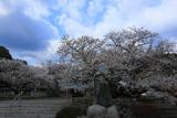 実報寺の一樹桜