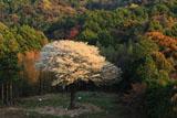 遠目からの月光桜