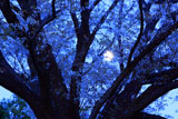 月に透かした月光桜