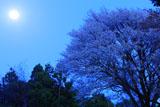月光に照らされた月光桜