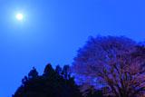 月光浴の月光桜