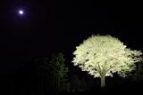 月光桜ライトアップ
