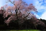 吉良の江戸彼岸桜