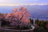 徳島県の桜