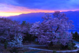 黄昏時の桜堂のひょうたん桜