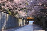香川県の桜
