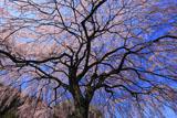 堀池の枝垂桜を見上げて