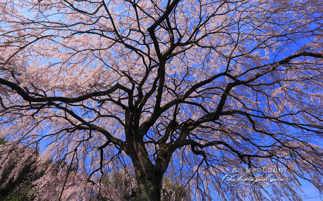 堀池の枝垂桜を見上げて 壁紙