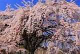 満開の堀池の枝垂れ桜