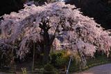 民家の一本桜