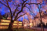 大石神社の大石桜 ライトアップ