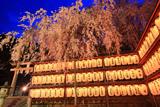 大石神社の大石桜 献燈と夜桜