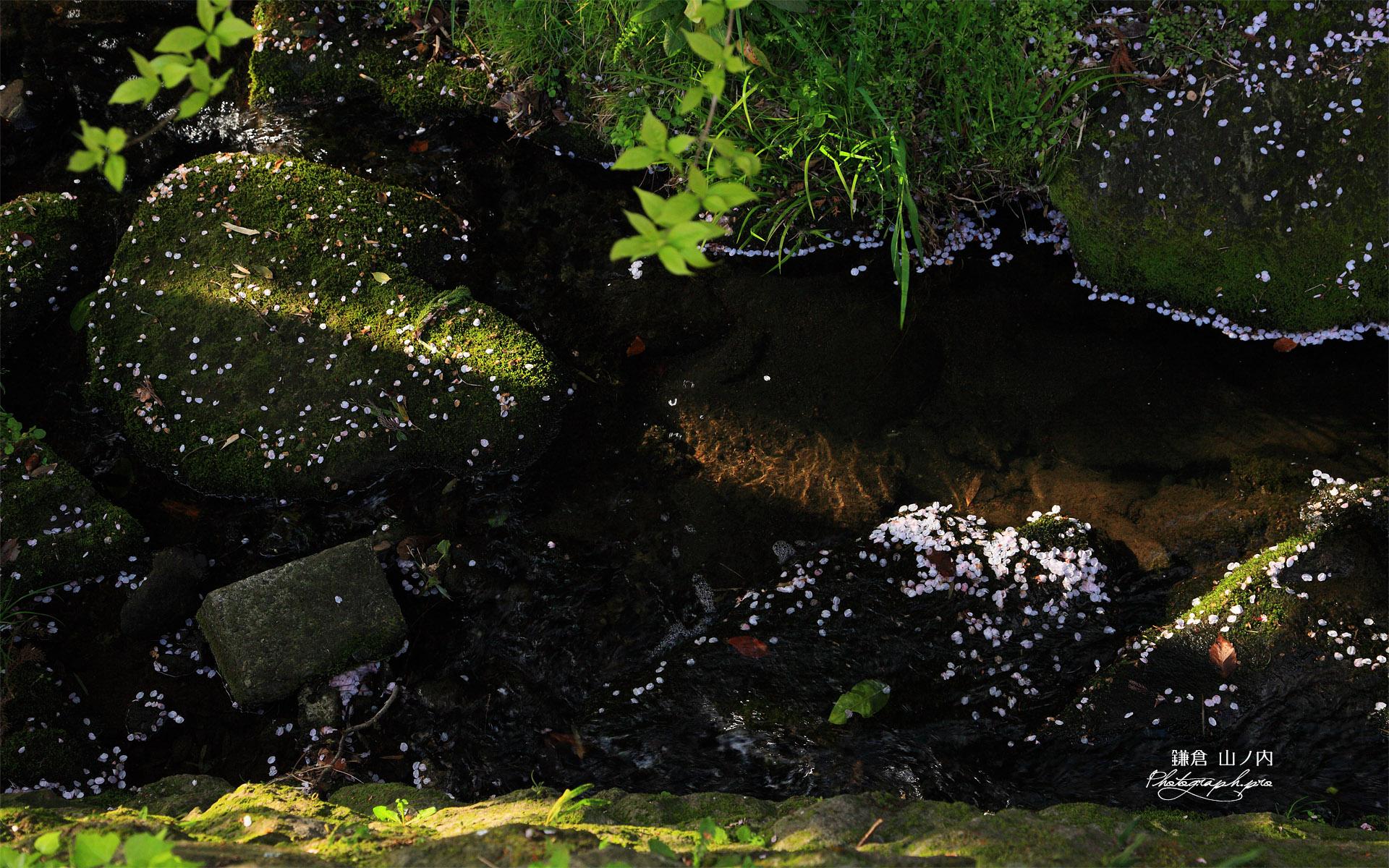 鎌倉山ノ内 明月川の花衣