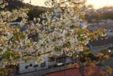 円覚寺雲頂菴のオオシマザクラ