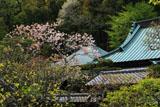 東慶寺 八重桜に書院と本堂