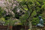 東慶寺 金仏と枝垂れ桜