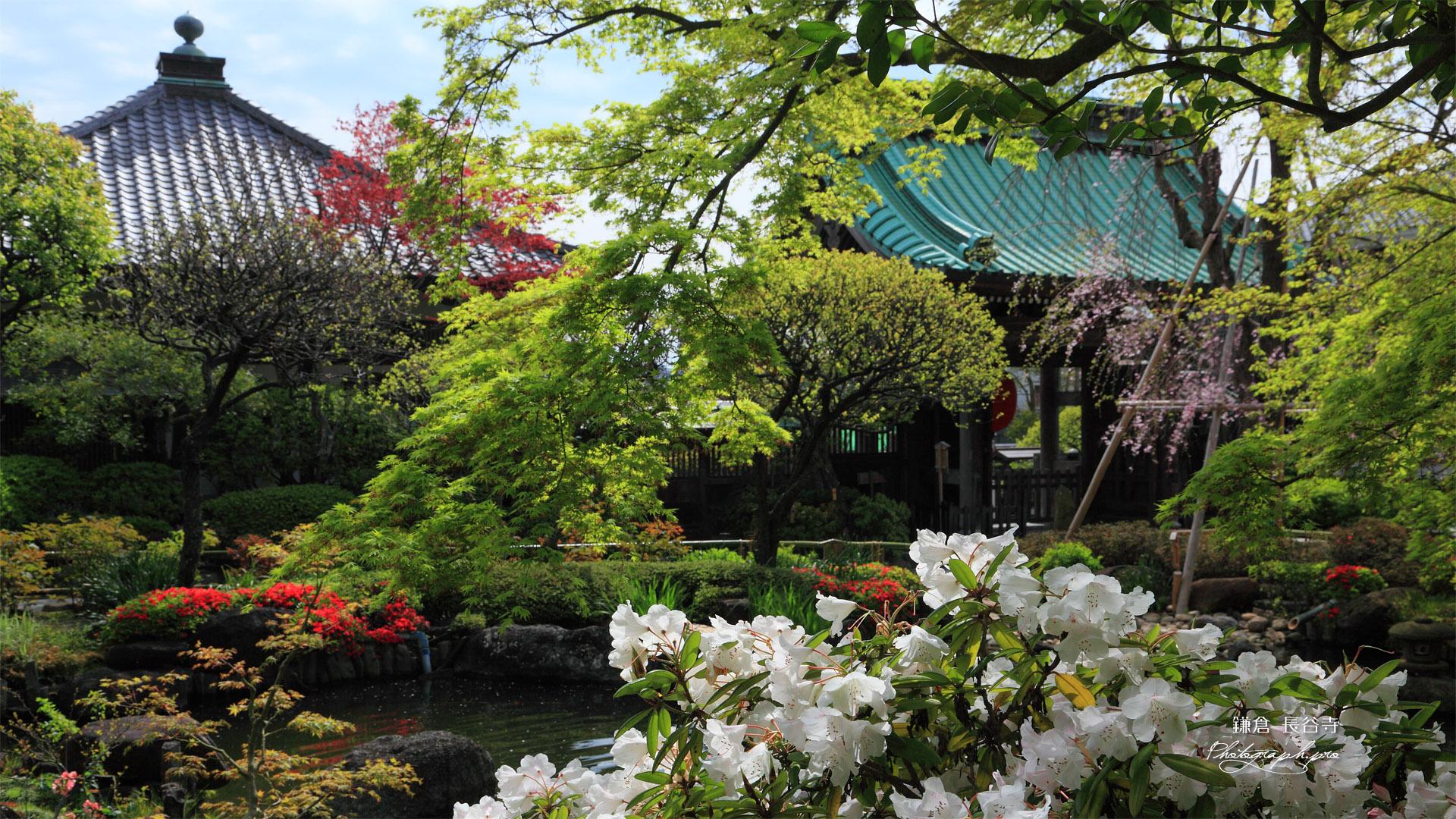 鎌倉長谷寺放生池のシャクナゲ