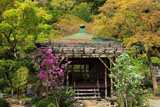 鎌倉長谷寺のミツバツツジと利休梅
