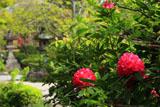 鎌倉長谷寺のシャクナゲ