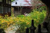海蔵寺 やぐらからのヤマブキ