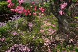 海蔵寺 散り海棠