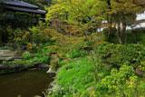 円覚寺妙香池のシャガ