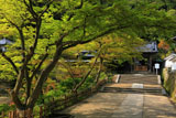 円覚寺正続院前のカエデの花