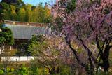 枝垂れ桜と建長寺妙高院