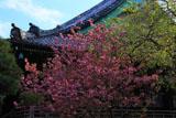 鎌倉本覚寺 ヤエザクラと本堂