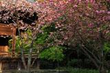 妙本寺 八重桜と祖師堂