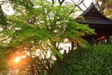 妙本寺 夕照の新緑と鐘楼