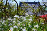 鎌倉安養院のシャガ