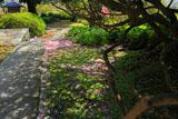 安養院の散桜