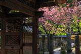 円覚寺唐門とヤエザクラ