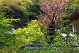 円覚寺仏日庵のヤエザクラ