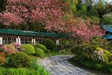 鎌倉龍宝寺の八重桜