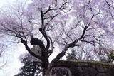 沼田城石垣と御殿桜
