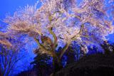 沼田城御殿桜ライトアップ