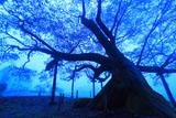 黎明の西山辰街道の大桜