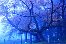西山辰街道の大桜