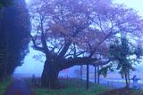 西山辰街道の大桜と馬頭観音