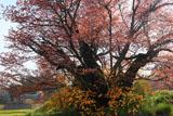 葉桜の茂木小山のヤマザクラ