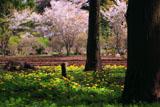 タンポポと大戸の桜