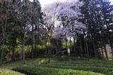 茶畑と小室家のヤマザクラ