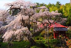 茨城県の桜
