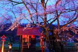山妻有大明神社殿と桜