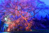 山妻有の桜ライトアップ